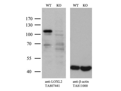 Carrier-free (BSA/glycerol-free) LOXL2 mouse monoclonal antibody, clone OTI2A7 (formerly 2A7)