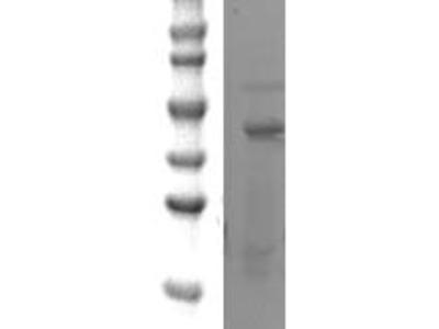 Rabbit anti SOX-3 Polyclonal Antibody