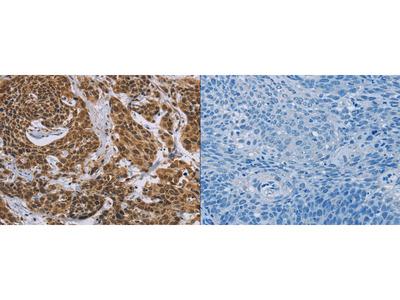 Rabbit Polyclonal Anti-CCL21 Antibody