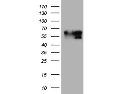 BNIPL mouse monoclonal antibody,clone OTI2E8