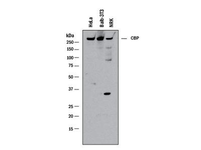CBP Antibody