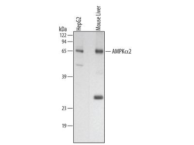 AMPK alpha 2 Antibody