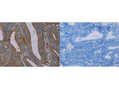 Rabbit Polyclonal Anti-PYY Antibody
