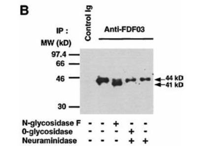 PILRA rat monoclonal antibody, clone 36H2