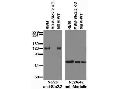 Kcnt1 mouse monoclonal antibody, clone N3/26