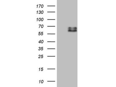 Carrier-free (BSA/glycerol-free) SUOX mouse monoclonal antibody, clone OTI1C5 (formerly 1C5)