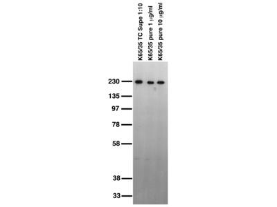 Cntnap1 mouse monoclonal antibody, clone K65/35