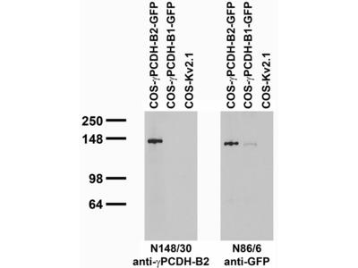 Pcdhgb2 mouse monoclonal antibody, clone N148/30