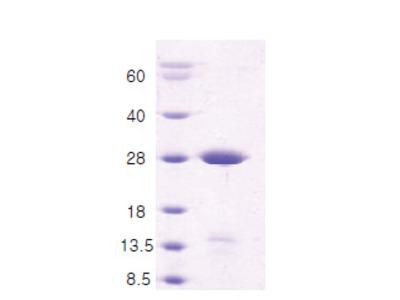 Syntaxin 1A / STX1A (1-226)