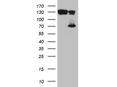 Carrier-free (BSA/glycerol-free) TAF1B mouse monoclonal antibody, clone OTI1A8 (formerly 1A8)