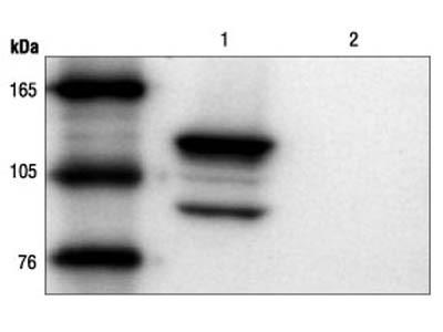 β-Gal (14B7) Mouse mAb