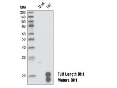 Bit1 Antibody