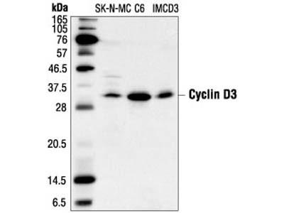 Cyclin D3 (DCS22) Mouse mAb