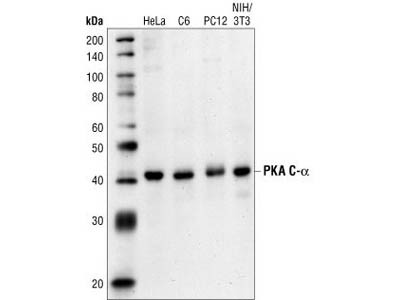 PKA C-α Antibody