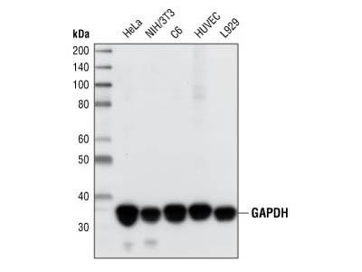 GAPDH Western Blot detection