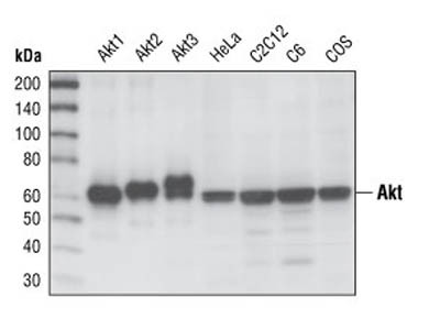A Reliable Antibody for Total Akt Protein