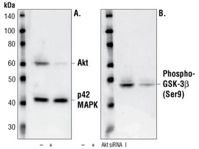 Akt Detection in MDCK Cells