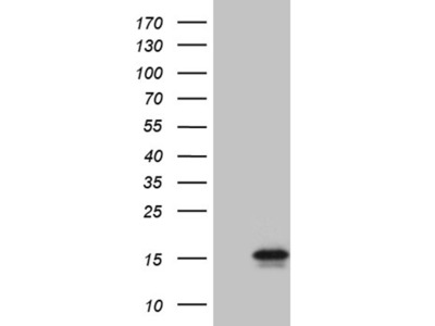 C4orf36 mouse monoclonal antibody,clone OTI2H5