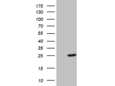 BEX2 mouse monoclonal antibody,clone OTI1D1