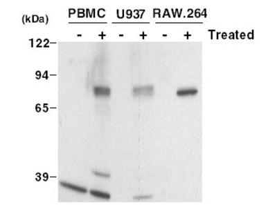COX2 (PTGS2) goat polyclonal antibody