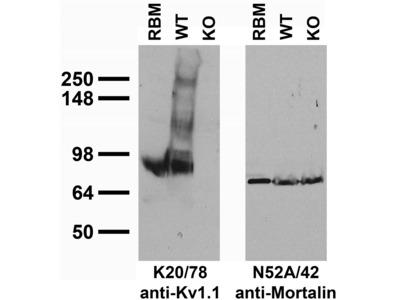 Kcna1 mouse monoclonal antibody, clone K20/78