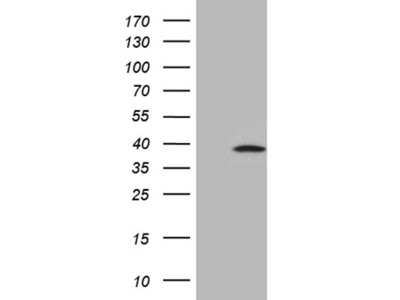 C1orf111 mouse monoclonal antibody,clone OTI1A9