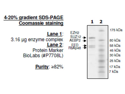 EZH2 (A677G)/EED/SUZ12/RbAp48/AEBP2, His-tag