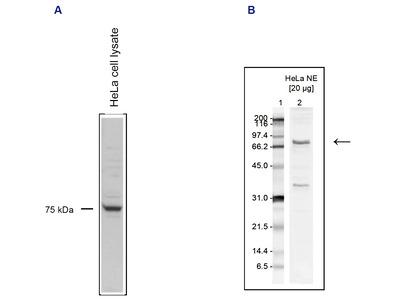 Anti–Paf1 polyclonal antibody