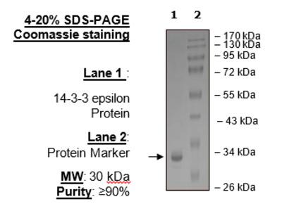 14-3-3 epsilon Protein, His-tag (Human)