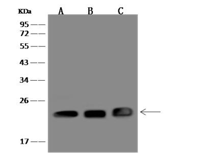p23 / PTGES3 Antibody, Rabbit PAb, Antigen Affinity Purified