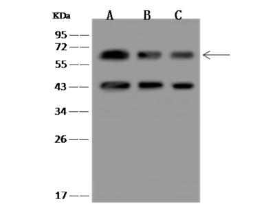PACSIN2 Antibody, Rabbit PAb, Antigen Affinity Purified