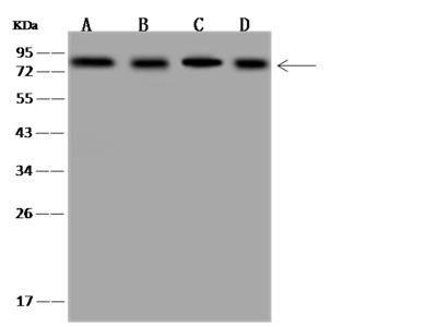 THOC1 Antibody, Rabbit PAb, Antigen Affinity Purified
