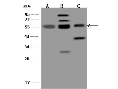TRIM4 Antibody, Rabbit PAb, Antigen Affinity Purified
