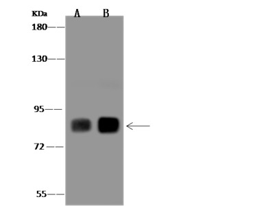 PLCD1 Antibody, Rabbit PAb, Antigen Affinity Purified