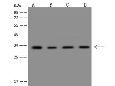 CHMP4A Antibody, Rabbit PAb, Antigen Affinity Purified