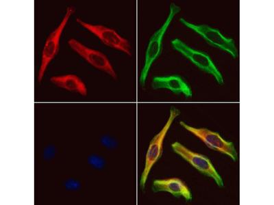 PRPH2 Antibody