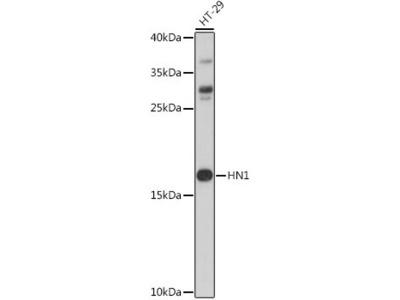 HN1 Antibody