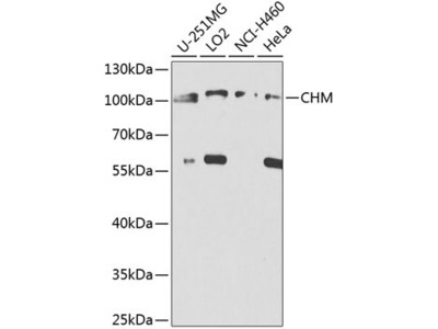CHM Antibody