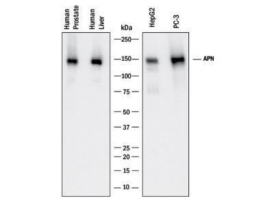 Aminopeptidase N /CD13 Antibody
