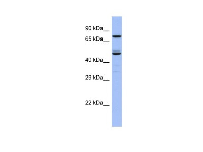 OATL1 Antibody