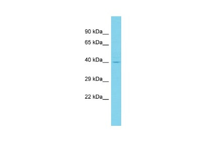 CCDC81 Antibody