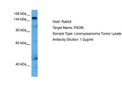 PXDN Antibody