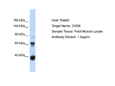 CHD6 Antibody