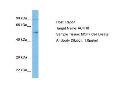 Nicotinic Acetylcholine R alpha 10/CHRNA10 Antibody