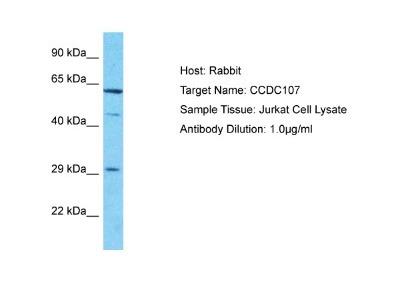 CCDC107 Antibody