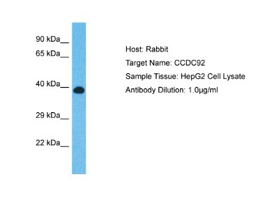 CCDC92 Antibody
