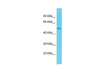 ETV3 Antibody