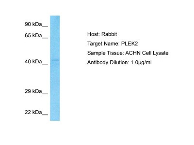 Pleckstrin-2 Antibody
