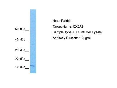 COX6A2 Antibody
