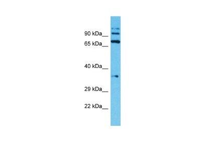 TMPRSS7 Antibody